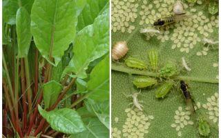 Hoe zich te ontdoen van bladluizen op zuring
