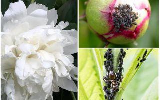 Hoe zich te ontdoen van bladluizen op pioenen