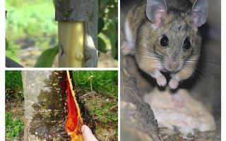 Hoe de appelboom te redden, als de schors muizen betrapt