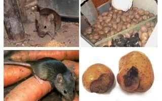Hoe muizen uit de kelder te krijgen