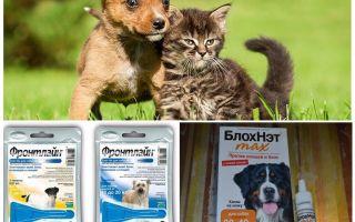 Hoe en hoe een hond te beschermen tegen muggen en zwarte vliegen