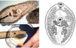Beschrijving van trematodes
