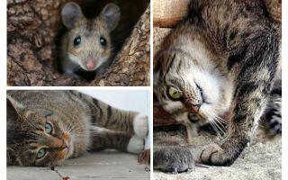 Eten katten en katten muizen?