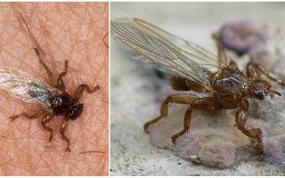 Wat is gevaarlijke elandvlieg