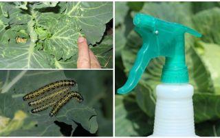 Hoe zich te ontdoen van vlinders en kool rupsen