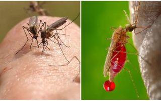 Hoe vaak kan een muggenbeet