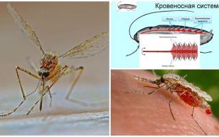 Interessante feiten over de structuur van muggen