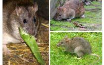Hoe zien ratten eruit