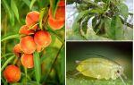Hoe om te gaan met bladluizen op perzik folk en winkelen betekent