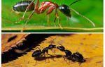 Hoeveel weegt een mier