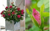 Bladluizen op rozen - hoe om te gaan en hoe zich te ontdoen