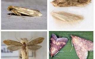 Wat helpt van de mot en zijn larven