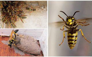 Hoe zich te ontdoen van de wesp nest op het balkon