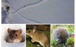 Sporen van muizen in de sneeuw