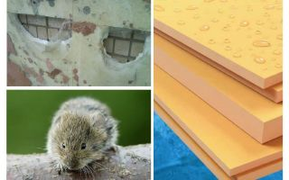 Eten muizen geëxtrudeerd polystyreenschuim