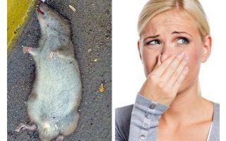 Hoe zich te ontdoen van de geur van een dode rat onder de vloer