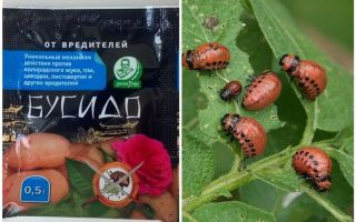 Remedie voor Bushido Colorado-aardappelkever: instructies voor gebruik, effectiviteit, beoordelingen