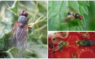 Hoe om te gaan met een karmozijnrode vlieg