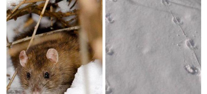 Hoe zien rattensporen eruit in de sneeuw