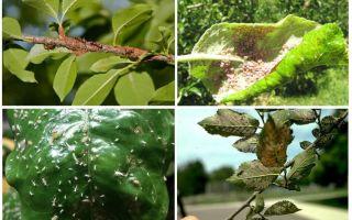 Hoe zich te ontdoen van bladluizen in de bomen