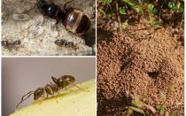 Tuinzwarte mieren