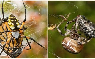 Weaver Spiders