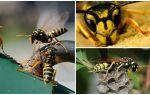 Hoe zich te ontdoen van de wesp uit het huis, appartement, kamer