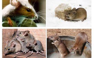 Interessante feiten over muizen