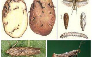 Potato moth - maatregelen voor opslagbeheersing