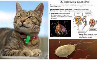 Symptomen en behandeling van Giardia bij katten