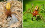 Beschrijving en foto van de spin Sak (Heiracantium)