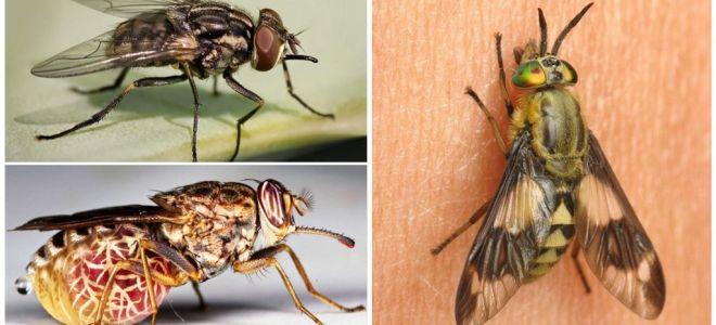 Variëteiten van vliegen met foto's en beschrijvingen