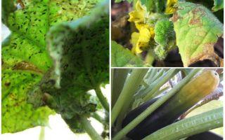 Hoe zich te ontdoen van bladluizen op courgette