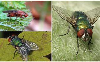 Beschrijving en foto van mestvlieg