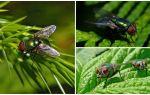 Beschrijving en foto van groene aasvlieg