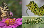 Beschrijving en foto van de rups van de Machaon-vlinder