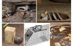 Hoe te om ratten van de kelder volksremedies te verwijderen