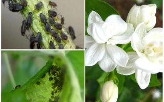 Hoe zich te ontdoen van bladluizen op jasmijn