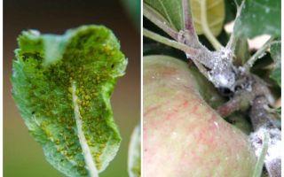 Hoe zich te ontdoen van bladluizen op appelbomen