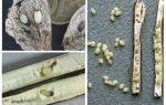 Burdock-larven - waar te vinden