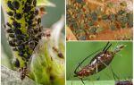 Hoe verschijnt bladluis op planten