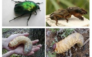 Wat is het verschil tussen de larven van de beer en de kever
