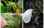 Hoe zich te ontdoen van de wittevlieg op kamerplanten