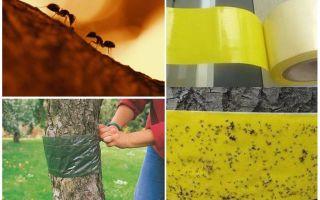 Hoe om te gaan met mieren in de bomen in de tuin
