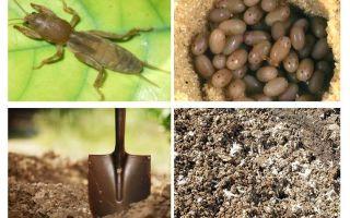 Wat en hoe moet Medvedka uit de tuin komen