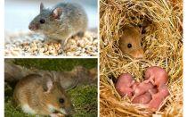 De levensduur van muizen