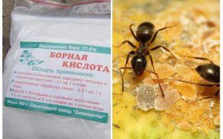 Boorzuur tegen mieren in het appartement en de tuin