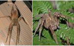 Beschrijving en foto spider zwervers
