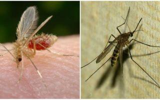 Wat is het verschil tussen muggen en muskieten?