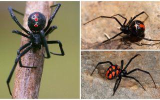 Rassen van spinnenfoto's met namen en beschrijvingen